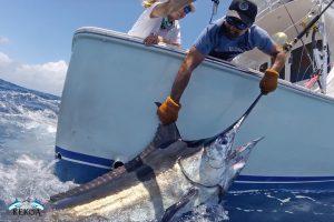 Marlin pesce durante la cattura