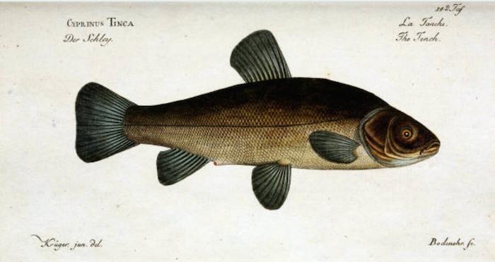 caratteristiche del pesce tinca