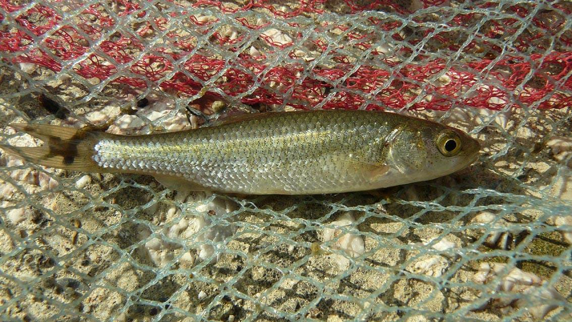 Il Pesce Cavedano Caratteristiche Habitat Segni Distintivi